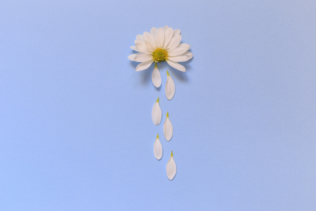 Camomile lying on a blue background and imitating the cloud from which it rains