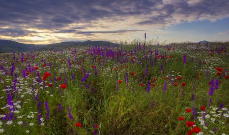 A field of daisies, poppies and mountain lavender high in the mountains Stock Photo
