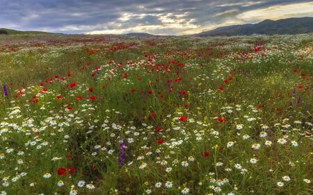 A field of daisies, poppies and mountain lavender high in the mountains Banco de Imagens