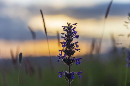 Blooming lupins in the mountains at sunset