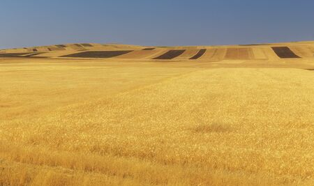 Fields of ripened wheat in the mountains Banco de Imagens