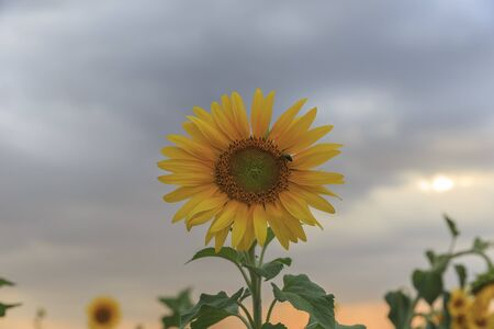 Lonely sunflower against a cloudy sky