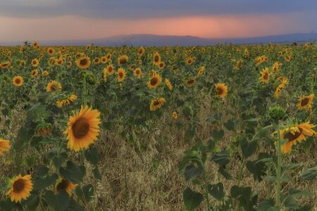 Sunflowers field at sunset in the mountains Banque d'images