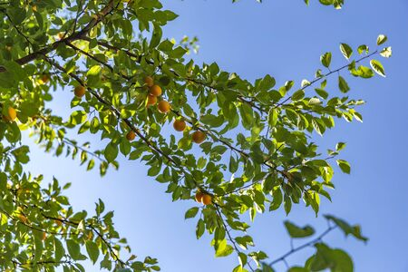 Ripe yellow plums on a tree