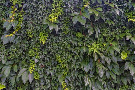 Wall covered with different climbing plants
