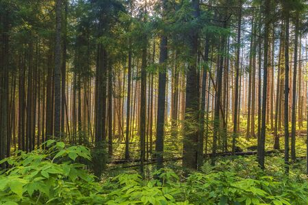 Beautiful forest in Tatra mountains high in the early morning