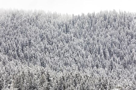 Coniferous forest in the mountains covered with snow and covered with clouds 스톡 콘텐츠