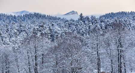 Coniferous forest in the mountains covered with snow  스톡 콘텐츠