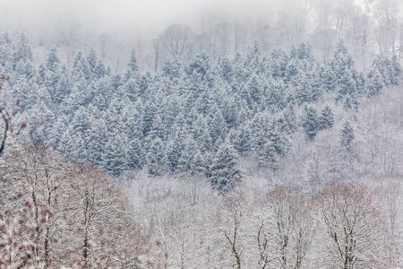 Coniferous forest in the mountains covered with snow and covered with clouds Banco de Imagens