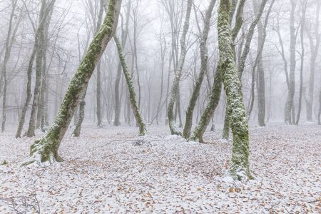 Snow covered forest in fog 版權商用圖片