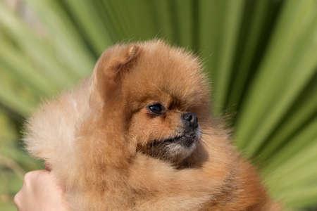 Beautiful portrait of Pomeranian Spitz Imagens