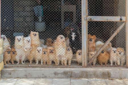 Pomeranian Spitz in the Aviary for Dog Breeding