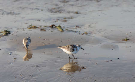 Calidris alba looking for food on the beach