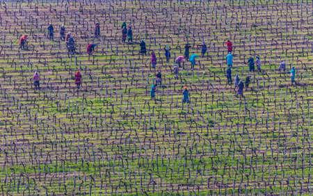 Grape plantation preparation by women Фото со стока