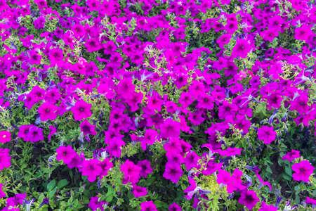 Ball of subshrub perennial flowers Petunia