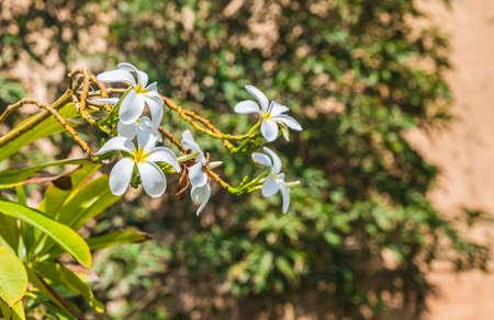Bush in blooming flowers Plumeria blunt (Plumeria obtusa)