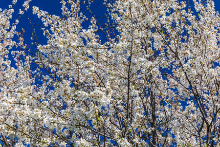 Blooming tree in spring on a background of clear sky