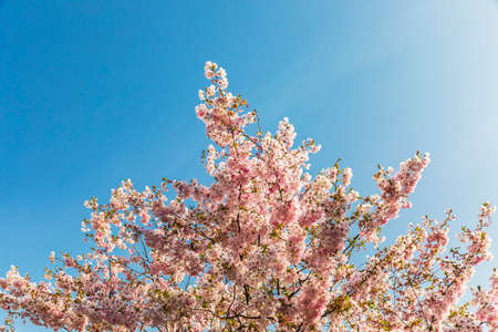 Blooming sakura branches on a background of blue sky