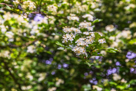 The bird cherry blossomed in the spring forest Imagens
