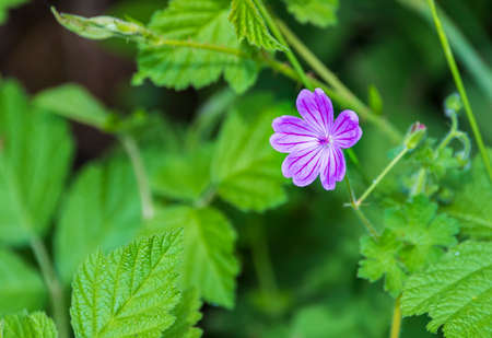 Forest geranium flower in spring Imagens