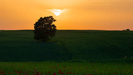 Lonely oak standing in a field among poppies Imagens