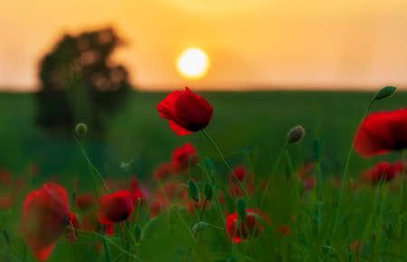 Poppy field at sunset. Poppy close-up