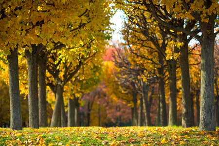 shallow depth of field: Sunny autumn alley of yellow and red trees in the park. Ideal background with shallow depth of field
