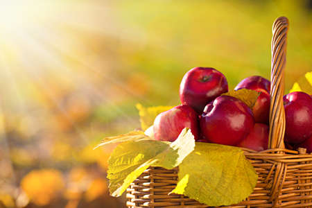 Full basket of red juicy organic apples with yellow leaves on autumn outdoors with soft sun backlit. Good harvest of apples in fall. Thanksgiving holiday concept. 版權商用圖片