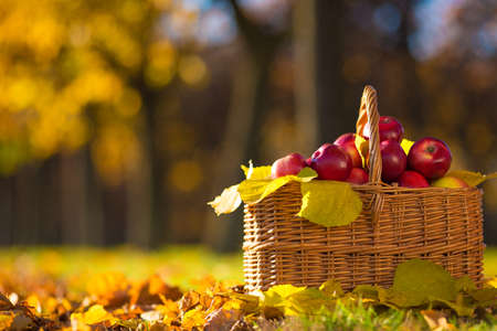 Full basket of red juicy organic apples with yellow leaves on autumn outdoors with soft sun backlit. Good harvest of apples in fall. Thanksgiving holiday concept. 写真素材