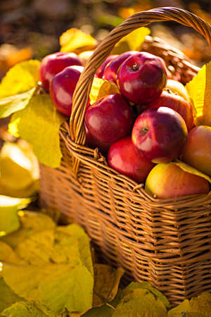 harvest basket: Full basket of red juicy organic apples with yellow leaves on autumn outdoors with soft sun backlit. Good harvest of apples in fall. Thanksgiving holiday concept. Stock Photo