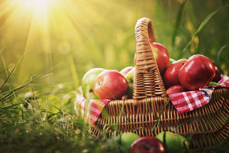 Rich organic apples in a basket outdoors. Autumn harvest of apples in a basket on a green grass in a garden.  Imagens