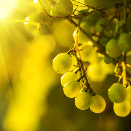 chardonnay: Ripe grapes on a vine with bright sun shining through the green grape leaves. Vineyard harvest season.