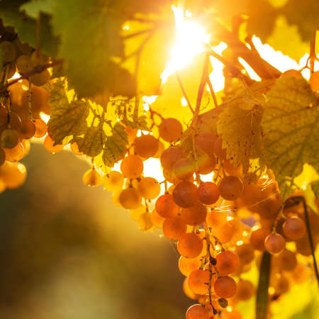Ripe grapes on a vine with bright sun shining through the green grape leaves. Vineyard harvest season.