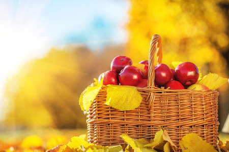 Full basket of red juicy organic apples with yellow leaves on autumn outdoors with soft sun backlit. Good harvest of apples in fall. Stock Photo
