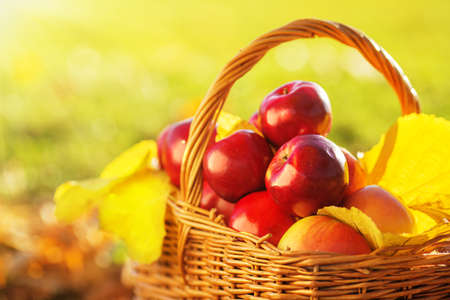 red green: Full basket of red juicy organic apples with yellow leaves on autumn outdoors with soft sun backlit. Good harvest of apples in fall. Stock Photo