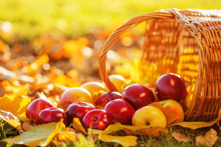 Full basket of red juicy organic apples with yellow leaves on autumn outdoors with soft sun backlit. Good harvest of apples in fall. Thanksgiving holiday concept. Imagens