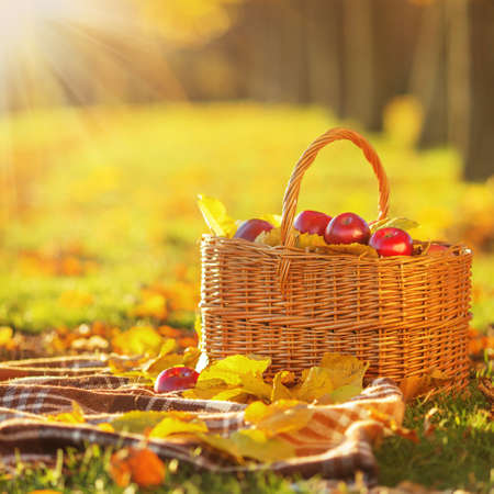 harvest basket: Full basket of red juicy organic apples with yellow leaves on autumn outdoors with soft sun backlit. Good harvest of apples in fall. Stock Photo