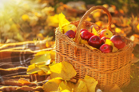 Full basket of red juicy organic apples with yellow leaves on autumn outdoors with soft sun backlit. Good harvest of apples in fall. Thanksgiving holiday concept. 스톡 콘텐츠