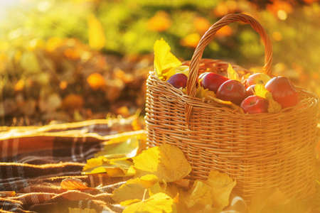 basketful: Full basket of red juicy organic apples with yellow leaves on autumn outdoors with soft sun backlit. Good harvest of apples in fall. Thanksgiving holiday concept. Stock Photo