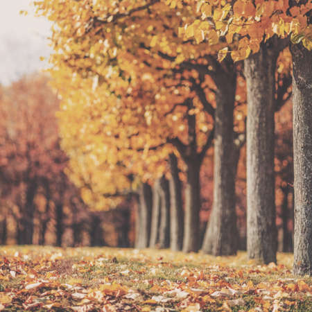 yellow trees: Picturesque autumn park background. Bright yellow and red trees fall background with a bright shining sun.