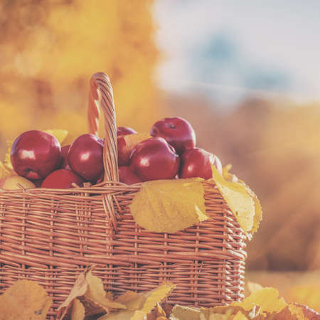 basketful: Full basket of red juicy organic apples with yellow leaves on autumn outdoors with soft sun backlit. Good harvest of apples in fall. Stock Photo