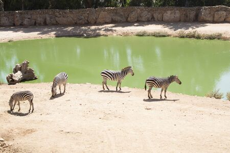 Zebras grazing in Lake Jerusalem Biblical Zoo