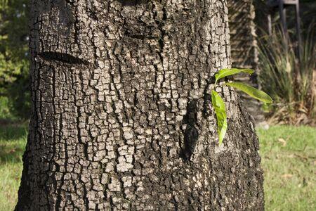 tre fogli su un tronco largo l'albero