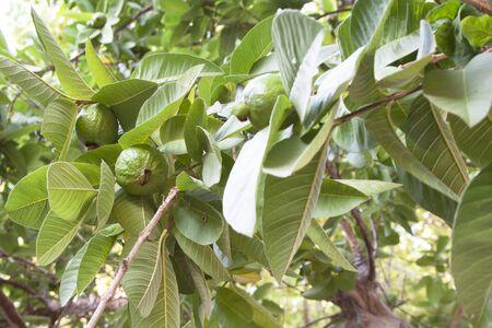 Guava frutti sulla pianta