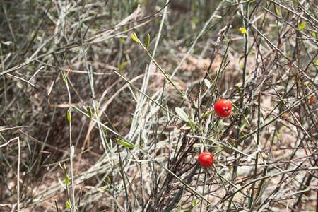 rosso foresta bacca cresce l'erba Archivio Fotografico