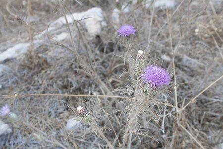 Alatum Cirsium - pianta viola con spine
