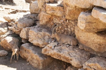 Capra ibex nubiana in Zoo Biblico di Gerusalemme Archivio Fotografico