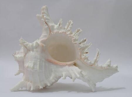 Seashell Murex Ramosus on white background Stock Photo - 16293877