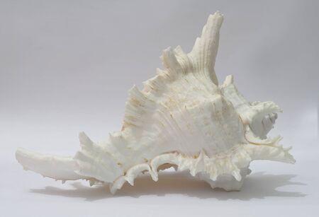 Conchiglia Murex ramosus su sfondo bianco