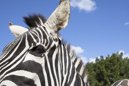 the plains zebra  belong to the subgenus Hippotigris  The unique stripes of zebras make them one of the animals most familiar to people Stock Photo - 18170390